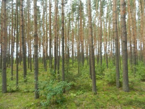 Шикарное место 3 га рекреационной земли (сосновый бор), на реке Волга - Фото 2