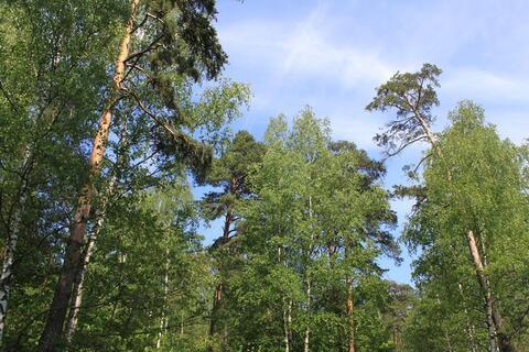Лесной участок с соснами со всеми коммуникациями в жилом посёлке - Фото 1