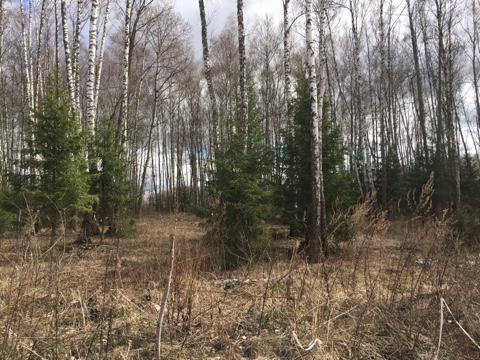 25 соток с лесными деревьями д.Ходаево Чеховский район - Фото 2