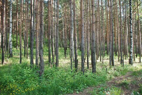 Лесной участок - 10 соток в Нижнеисетском районе - Фото 3