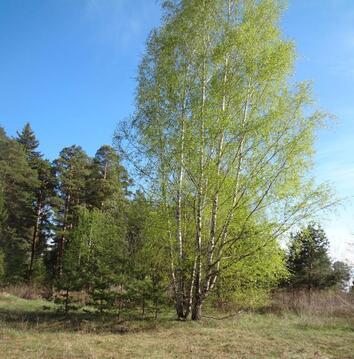 Участок рядом с сосновым бором - Фото 3