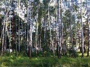 Участок 18 сот с соснами , в 5 км от г.Чехов, д.Б.Петровское. - Фото 3