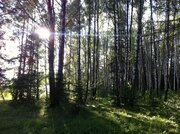 Участок 18 сот с соснами , в 5 км от г.Чехов, д.Б.Петровское. - Фото 5
