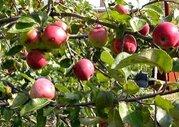 Продам яблоневый сад в Бахчисарае
