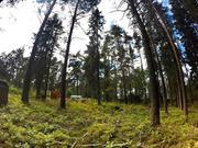 25 соток ИЖС соснового леса в пос. Судаково, Приозерский район. - Фото 4