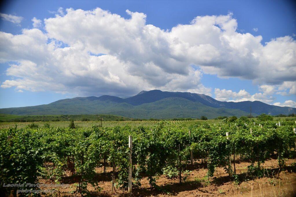 Перспектива выращивания винограда в крыму.