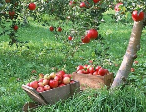 Продам яблоневый сад в Бахчисарае - Фото 2