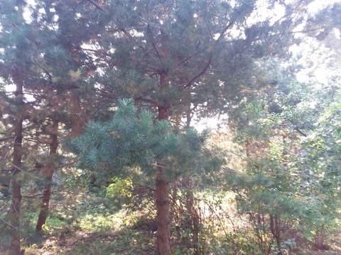 Шикарный участок 29 сот. с соснами в п. Загорянский, 17 км. от МКАД - Фото 2