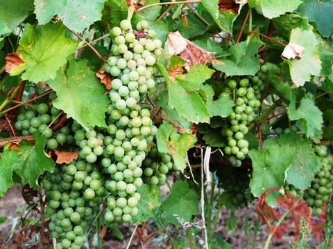 Продам виноградник 4 гектара в Феодосии - Фото 2