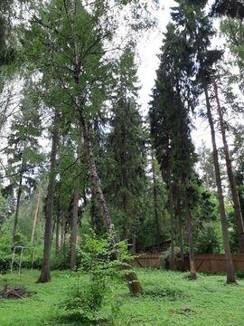 Участок 16 соток с лесными деревьями, Правдинский - Фото 2