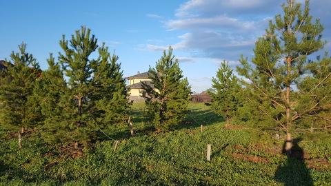 Лесной участок с соснами на Новорижском шоссе в 29 км от МКАД - Фото 1