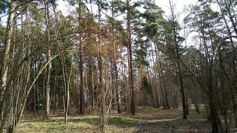 Маслово участок соснового леса 2.5 Га. - Фото 1