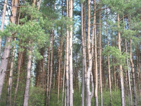 Лесной участок 18 соток, Сосновый бор. Ярославское ш. г.Сергиев Посад - Фото 1