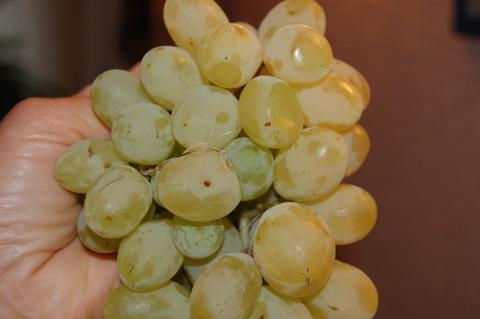Продаю виноградники общей площадью 156 га у моря - Фото 5