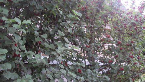 Продам сад рядом с Романовкой - Фото 4