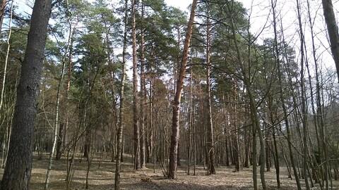 Маслово участок соснового леса 2.5 Га. - Фото 5