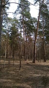 Маслово участок соснового леса 2.5 Га. - Фото 4