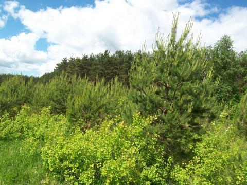 Лесной участок 18 соток, Сосновый бор. Ярославское ш. г.Сергиев Посад - Фото 2