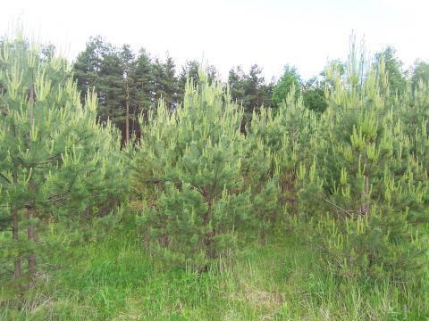 Лесной участок 18 соток, Сосновый бор. Ярославское ш. г.Сергиев Посад - Фото 4