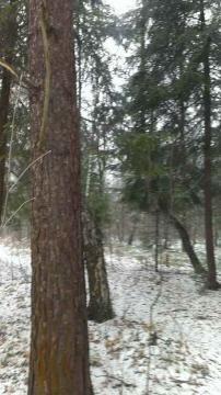 12 соток с Лесными Деревьями. - Фото 1