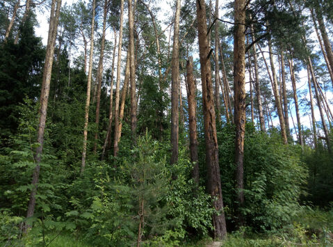 Д. Маслово нп «Блинчиково» участок 24.19 соток ИЖС красивейшего леса. - Фото 2