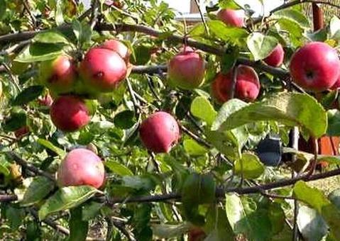 Продам яблоневый сад в Бахчисарае - Фото 1