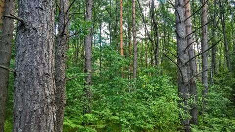 Участок 25 соток у самого соснового леса под Псковом - Фото 2