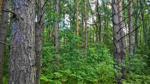 Участок 25 соток в пригороде Пскова, по границе сосновый лес - Фото 4