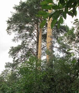 12 соток хвойного леса для постоянного проживания . Закрытый поселок в - Фото 1