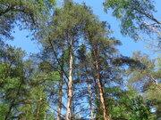 Участок с лесными деревьями в стародачном месте Одинцовского района.