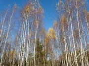 Участок 9,5 соток с молодым лесом, ПМЖ, эл-во 15 квт, дер. Таширово. - Фото 4