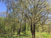 Лесной участок 10 соток под Звенигородом - Фото 4