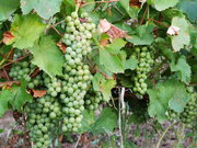 Продаю виноградники общей площадью 156 га у моря - Фото 1